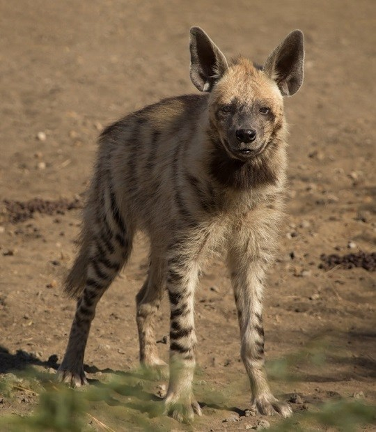 Striped_Hyena_Adult